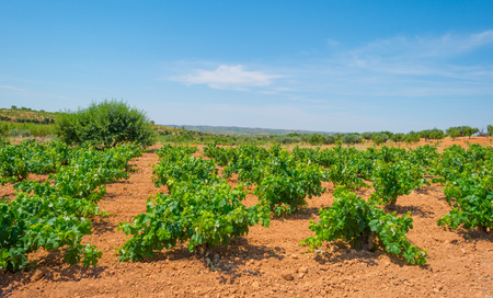 Vineyard in a hilly landscape in summer Stock Photo