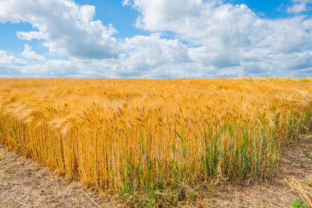 Golden wheat growing in a field in summer Stock Photo