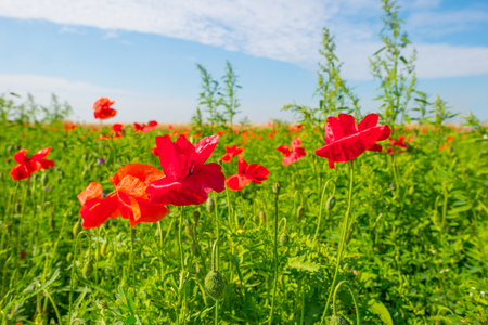 Poppies growing in a field in summer