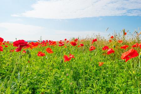 Poppies growing in a field in summer