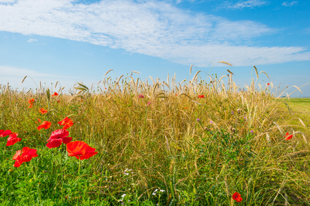 Poppies and wheat growing in a field in sunlight Stock Photo