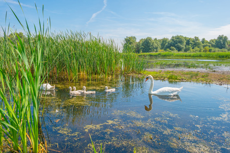 cygnet: Swans and cygnets swimming in a lake in summer