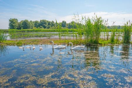 Zwanen en cygnets zwemmen in een meer in de zomer