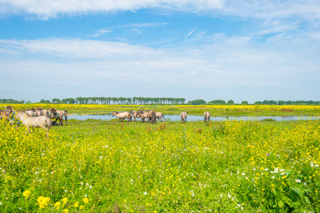 flevoland: Feral horses along the shore of a lake in summer