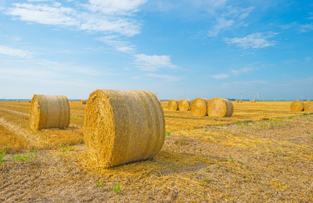 Large round straw bales in a field in summer Stock Photo