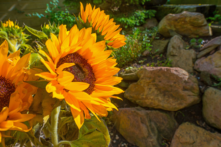Sunflowers blooming in a garden in summer Stock Photo