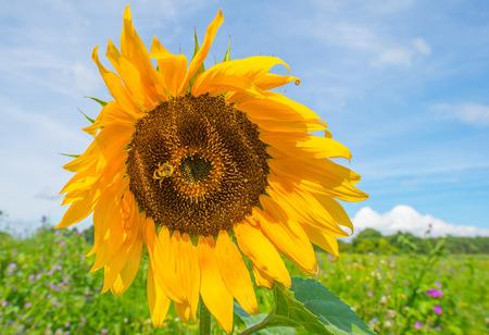 Sunflower in a field in sunlight in summer Stock Photo