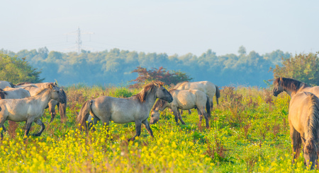 Herd of horses in a field at sunrise in summer