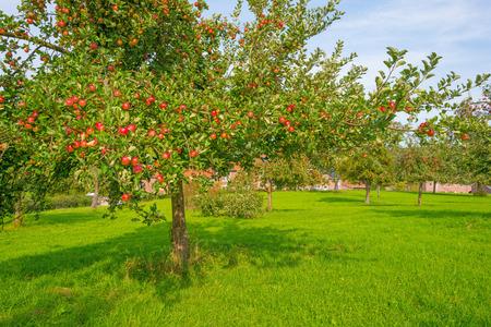 Fruitbomen in een boomgaard in zonlicht in de herfst Stockfoto
