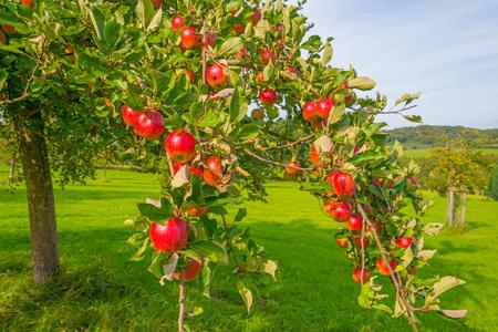 Alberi di frutta in un frutteto alla luce del sole in autunno