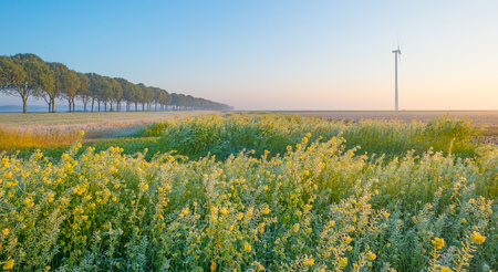 Foggy field with flowering rapeseed at sunrise in autumn