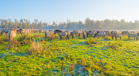 Horses along the edge of a foggy pond at sunrise in autumn Stock Photo