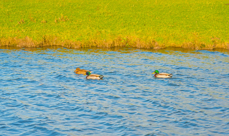 Ducks swimming in a pond in sunlight to fall