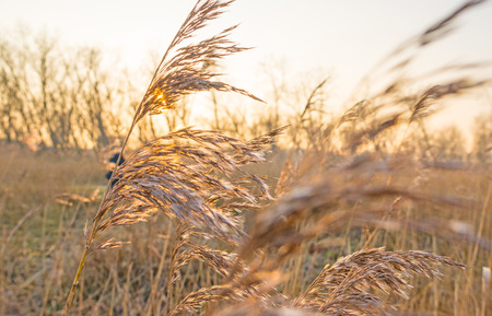 Sunset over a field with reed in winter Stock Photo