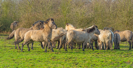 Herd of feral horses in a natural park in winter