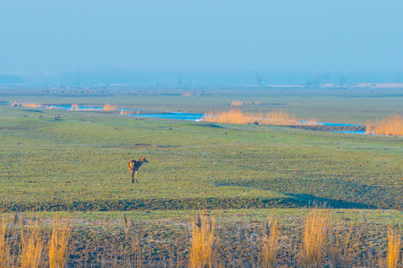 Deer in wetland along a pound in sunlight in winter