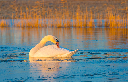 Swan swimming in a frozen lake at sunrise