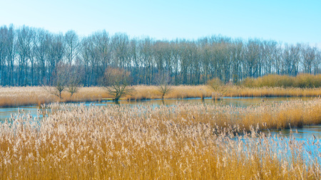 Reed in a field along a frozen lake in winter