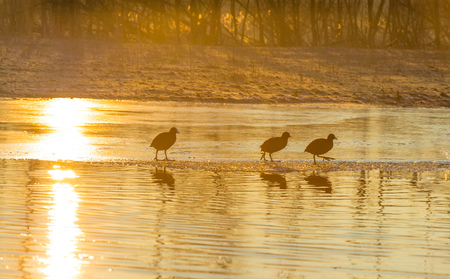 Coots running over a frozen lake at sunrise in winter