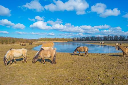 Feral horses in a field along a frozen lake in winter