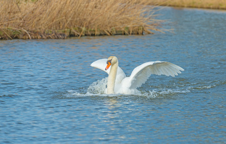 Swan touches down in the water or a canal in sunlight in winter