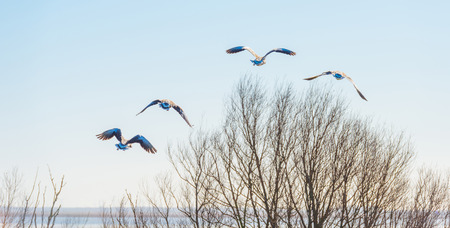 Geese flying in a blue sky in sunlight in winter