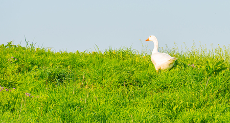 Goose looking over the edge of a dike in spring Stockfoto - 99902014