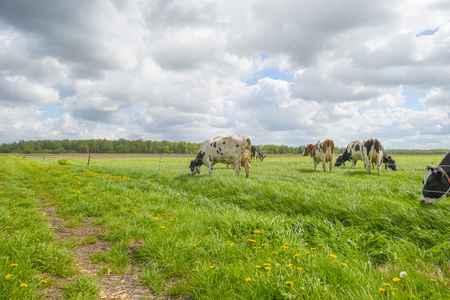 Herd or cows in a green meadow in sunlight in spring