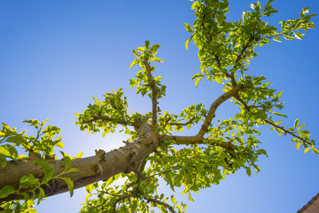 Leaves of an apple tree in a garden in sunlight in spring Stock Photo