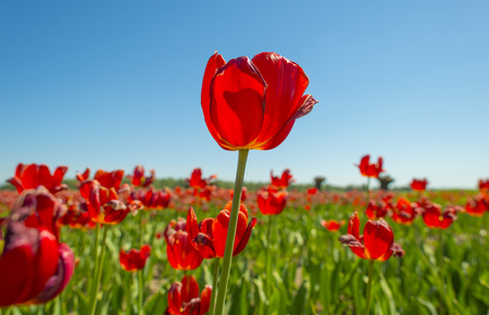 Field with colorful tulips below a blue sky in spring