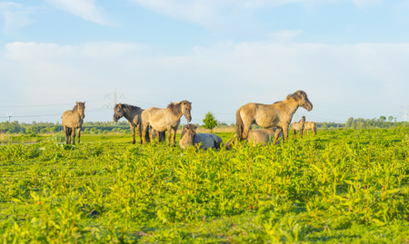 Feral horses in a field in the light of sunrise in spring Stock Photo
