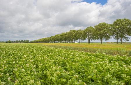 Potatoes growing in a field in sunlight in summer