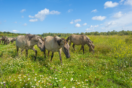 Horses in a field with flowers on a lake in summer Stock Photo