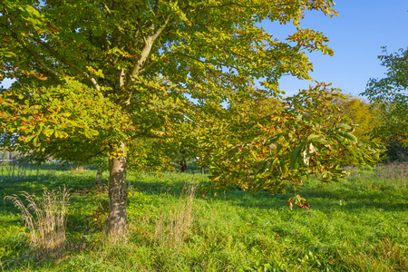 Chestnuts in a green field under a blue sky in sunlight at fall Stock Photo