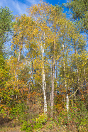 Foliage or trees in fall colors in sunlight in autumn Stock Photo