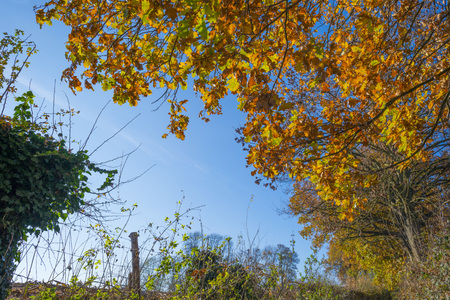Foliage in a blue sky in fall colors in sunlight in autumn Stockfoto