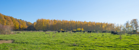 Herd of cows in a green meadow on a hill in sunlight at fall Stockfoto