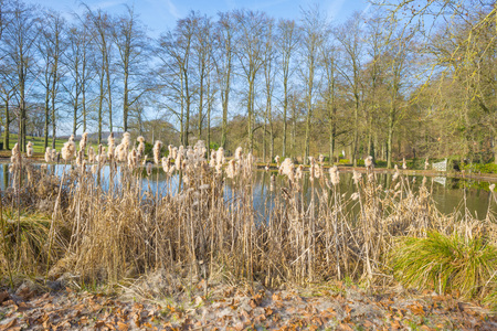 Reed along the edge of a pound along trees below a blue sky in sunlight in winter Imagens