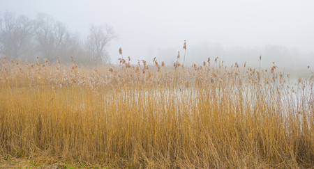 Reed along the shore of a lake in a natural park at sunrise in winter