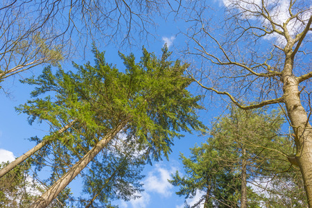 Foliage of trees in a forest below a blue cloudy sky in spring
