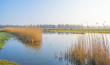 Reed along the edge of a foggy lake below a blue sky at sunrise in spring