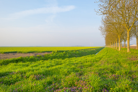 Field with flowers below a blue sky in sunlight at sunrise in spring