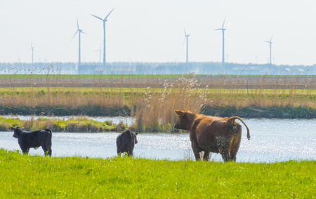 Cows in a green meadow along a lake in sunlight in spring
