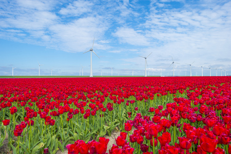 Field with flowers along wind turbines below a blue sky in sunlight in spring