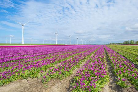 Field with flowers along wind turbines below a blue sky in sunlight in spring