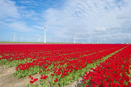 Field with flowers along wind turbines below a blue sky in sunlight in spring Stockfoto - 121675622