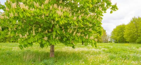 Fioritura di castagno in un campo verde sotto un cielo nuvoloso blu in primavera