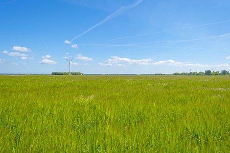 Field with a cereal grain below a blue sky in sunlight in spring