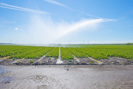 Field with plants of tulips irrigated by a traveling sprinkler in sunlight in spring