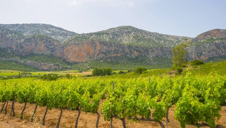 Green vineyards in the hills or the island of Sardinia in sunlight in spring